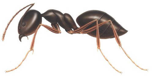 Ant Actual Size Image