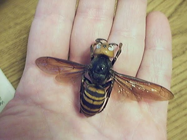 Asian giant hornet Actual Size Image