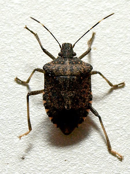Brown Marmorated Stink Bug Actual Size Image