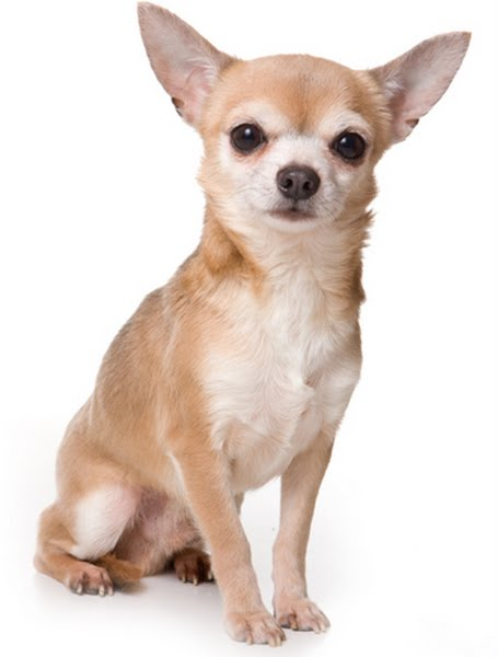 Chihuahua Actual Size Image