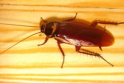Cockroach Actual Size Image