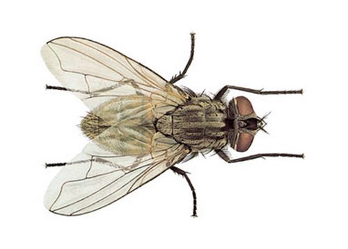 Common Housefly Actual Size Image