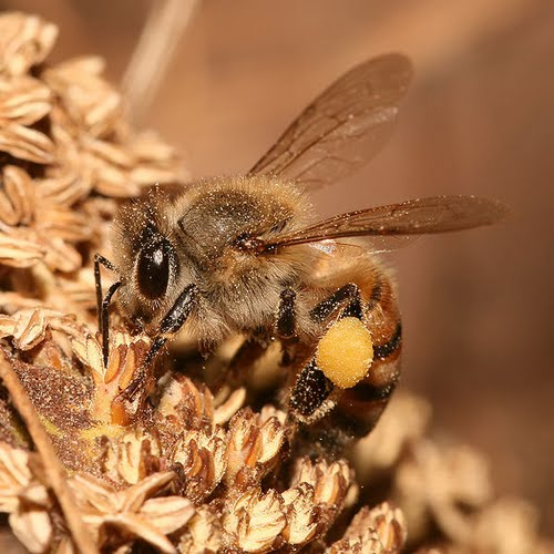 European Honey Bee Actual Size Image