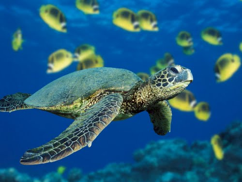 Green Sea Turtle (2) Actual Size Image