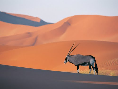 Oryx Antelope Actual Size Image