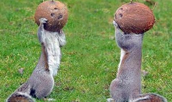 Squirrels go mad for coconuts Actual Size Image