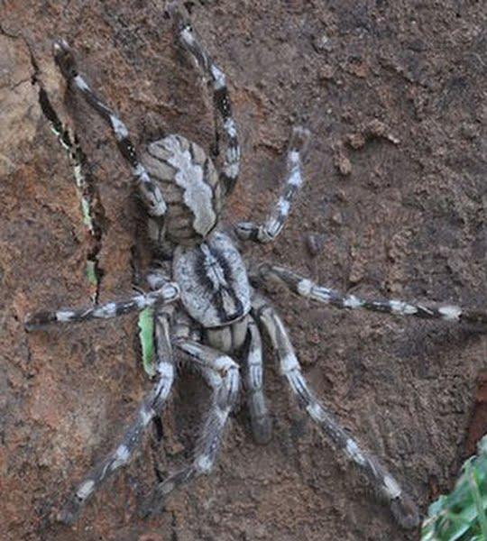 Лотос                  Sri-lankan-tarantula