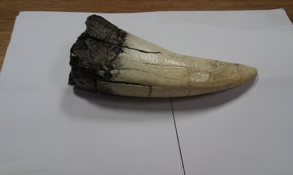 T-Rex tooth Actual Size Image